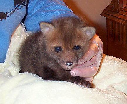 baby foxy7